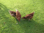 Our free range hens